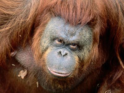 Orang-Utan in Zoo, Taman Safari Indonesia, Surabaya, Indonesia-Jane Sweeney-Photographic Print