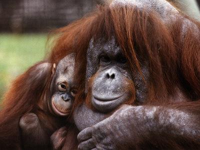 https://imgc.artprintimages.com/img/print/orang-utan-mother-and-baby-april-1991_u-l-p40ltv0.jpg?p=0