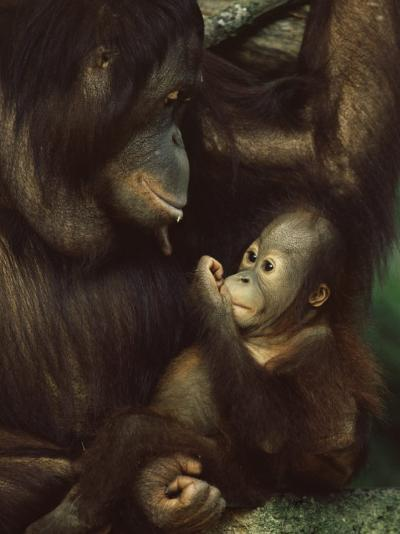 Orang Utan Mother and Baby, Pongo Pygamaeus, in Captivity, Singapore Zoo, Singapore-Ann & Steve Toon-Photographic Print