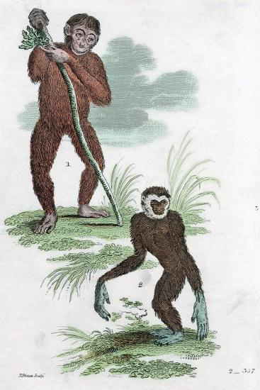 Orang Utang and Gibbon, 1822--Giclee Print