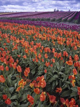 https://imgc.artprintimages.com/img/print/orange-and-purple-tulips-skagit-valley-washington-usa_u-l-pxra890.jpg?p=0