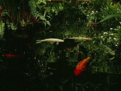 Orange and White Japanese Koi Drift in a Pond Near Green Ferns--Photographic Print