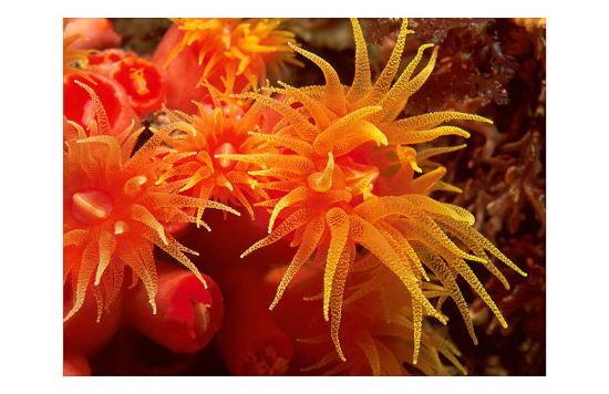 Orange Anemone, Ito Sea-Charles Glover-Art Print