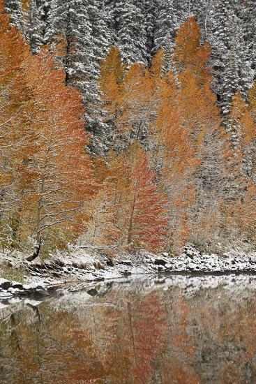 Orange Aspens in the Fall Among Evergreens Covered with Snow at a Lake-James Hager-Photographic Print
