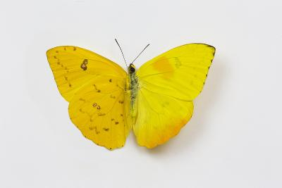 Orange-Barred Sulphur Butterfly, Comparison of Top and Bottom Wings-Darrell Gulin-Photographic Print