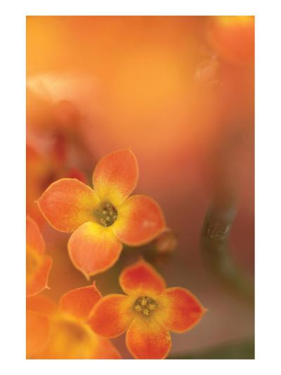 Orange Beauty-Karin Connolly-Art Print