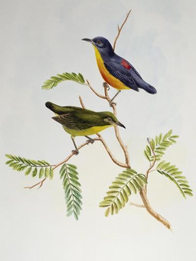 Orange-Bellied Flowerpecker (Dicaeum Trigonostigma)-John Gould-Giclee Print