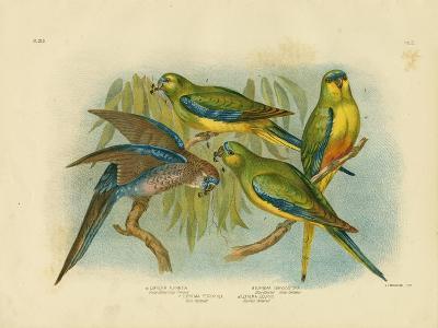 Orange-Bellied Grass-Parakeet, 1891-Gracius Broinowski-Giclee Print