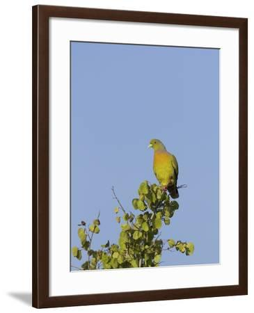 Orange-Breasted Green Pigeon (Treron Bicinctus), Uda Walawe National Park, Sri Lanka, Asia-Peter Barritt-Framed Photographic Print