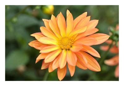 Orange Burst-Ross Gordon-Premium Photographic Print