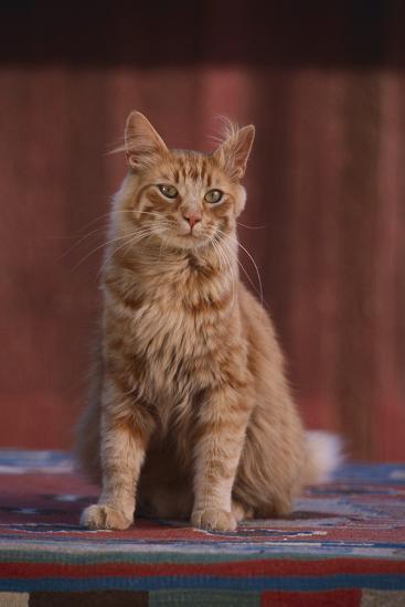 Orange Cat Sitting in Breeze-DLILLC-Photographic Print