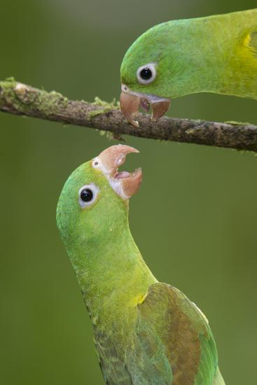 Orange-Chinned Parakeets (Brotogeris Jugularis) Interacting, Northern Costa Rica, Central America-Suzi Eszterhas-Photographic Print