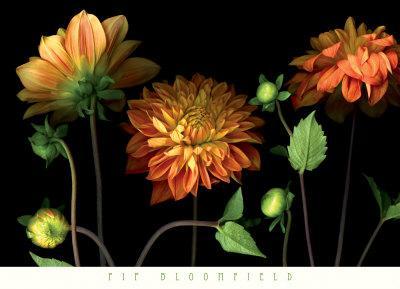 https://imgc.artprintimages.com/img/print/orange-dahlia-garden_u-l-f3qdhx0.jpg?p=0