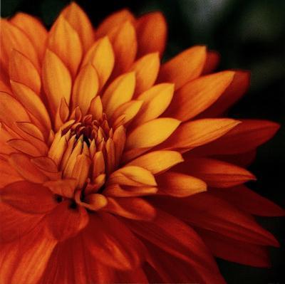 Orange Dahlia-June Hunter-Art Print