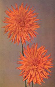 Orange Dahlias