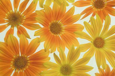 https://imgc.artprintimages.com/img/print/orange-daisies_u-l-q12ty5r0.jpg?p=0