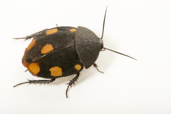 Orange domino roach, Therea regularis, at the Budapest Zoo.-Joel Sartore-Photographic Print