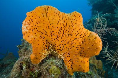 Orange Elephant Ear Sponge (Agelas Clathrodes) Santa Lucia-Franco Banfi-Photographic Print