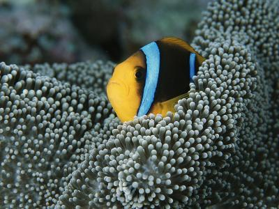 Orange-Fin Anemonefish Among the Tentacles of a Sea Anemone-Tim Laman-Photographic Print