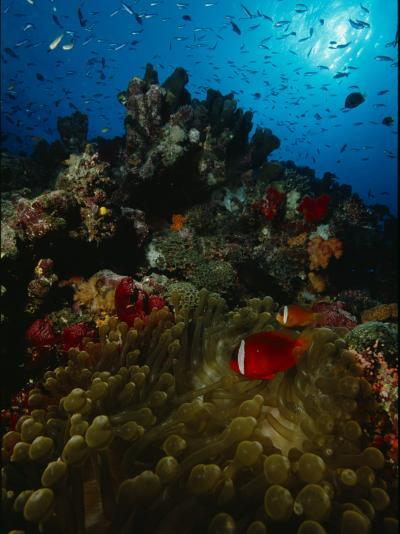 Orange-Fin Anemonefish and Anthias Swimming over a Colorful Reef-Tim Laman-Photographic Print