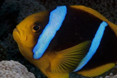 Orange-Fin Anenomefish in its Host Anenome, Fiji-Stocktrek Images-Photographic Print