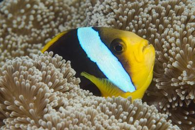 Orange-Finned Anemone Fish. Close to Host Anemone for Protection, Fiji-Pete Oxford-Photographic Print