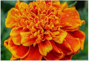 Orange Flower Close-up