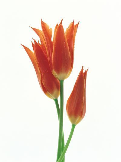 Orange Flowers Against White Background--Photographic Print
