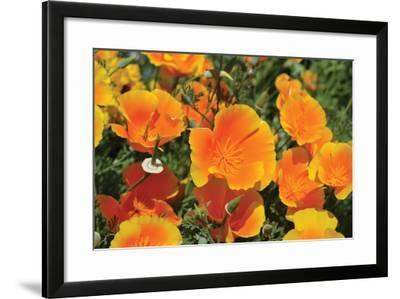 Orange Flowers-Brian Moore-Framed Photographic Print