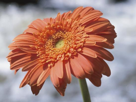 Orange Gerber Daisy Flower Blooming--Photographic Print
