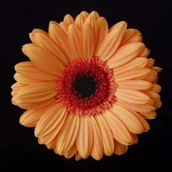 Orange Gerber Daisy-Jim Christensen-Photographic Print