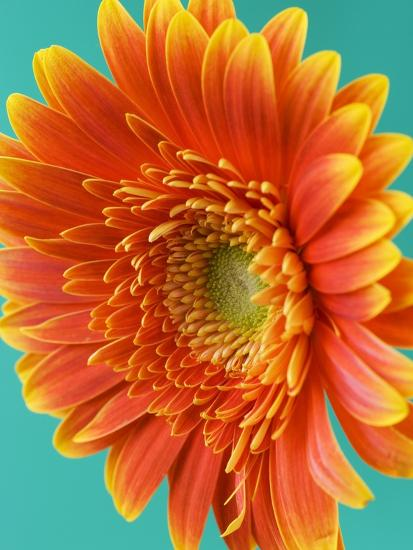 Orange Gerbera Daisy-Clive Nichols-Photographic Print