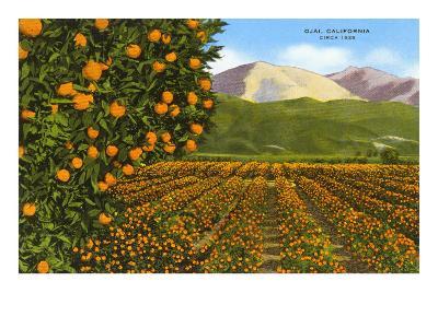 Orange Groves, Ojai--Art Print