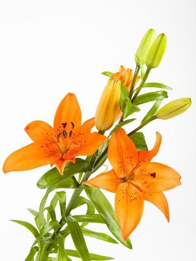 Orange lilies-Frank Lukasseck-Photographic Print