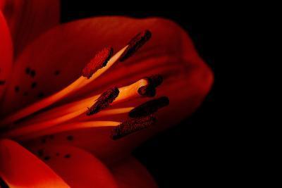 Orange Lily Against Black Background-Jennifer Peabody-Photographic Print