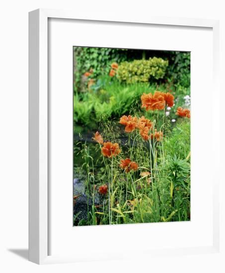 "Orange Papaver (Poppy) Flowers in Combination with Carex Elata ""Aurea"" ""Bowles Golden Sedge""-Ron Evans-Framed Photographic Print"
