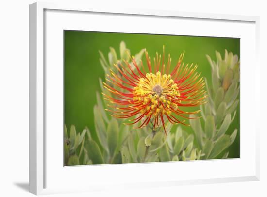 Orange Pin Cushion Protea, Upcountry Maui, Hawaii-Ron Dahlquist-Framed Photographic Print