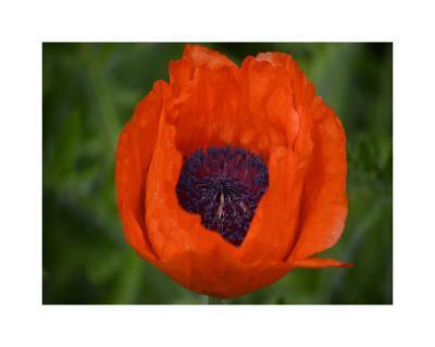 Orange Poppy-Savanah Plank-Giclee Print