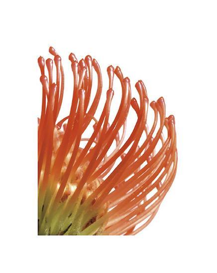 Orange Protea V-Jenny Kraft-Giclee Print