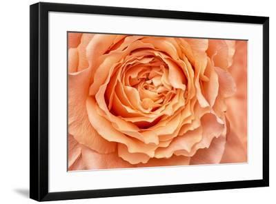 Orange Rose Close Up-Cora Niele-Framed Giclee Print