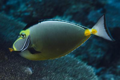 Orange Spine Unicorn Fish (Naso Lituratus), Rainbow Reef, Fiji-Pete Oxford-Photographic Print