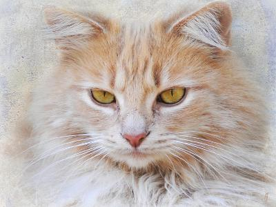 Orange Tabby Cat Portrait-Jai Johnson-Giclee Print