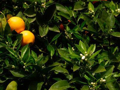 https://imgc.artprintimages.com/img/print/orange-tree-tenerife-canary-islands-spain_u-l-pxpn580.jpg?p=0