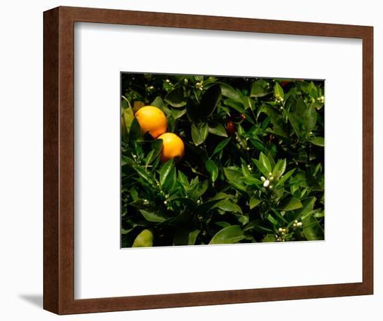 Orange Tree, Tenerife, Canary Islands, Spain-Russell Young-Framed Photographic Print