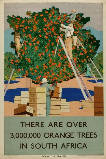 Orange Trees in South Africa, from the Series 'Summer's Oranges from South Africa'-Guy Kortright-Giclee Print