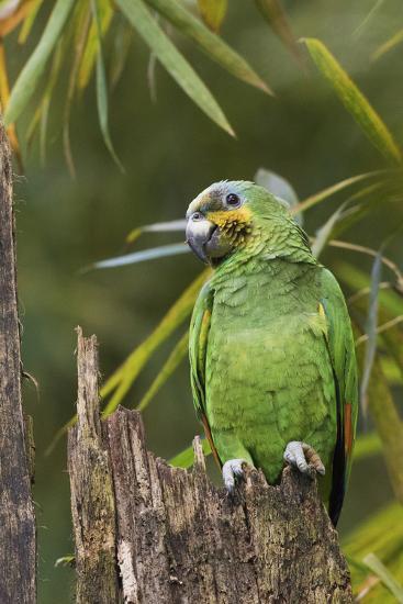 Orange-Winged Parrot-Ken Archer-Photographic Print