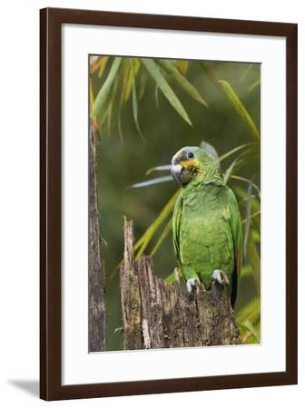 Orange-Winged Parrot-Ken Archer-Framed Photographic Print
