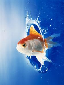 Orange, Yellow And White Fish Flying Through Water Splash