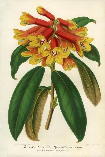 Orange Yellow Rhododendron--Giclee Print