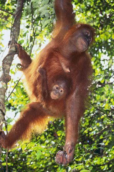 Orangutan and Baby Swinging in the Trees-DLILLC-Photographic Print